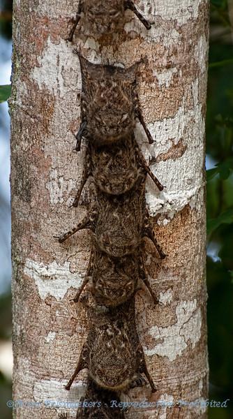 Langneusvleermuis; Rhynchonycteris naso; Proboscis bat; Chauvesouris à long nez; Nasenfledermaus