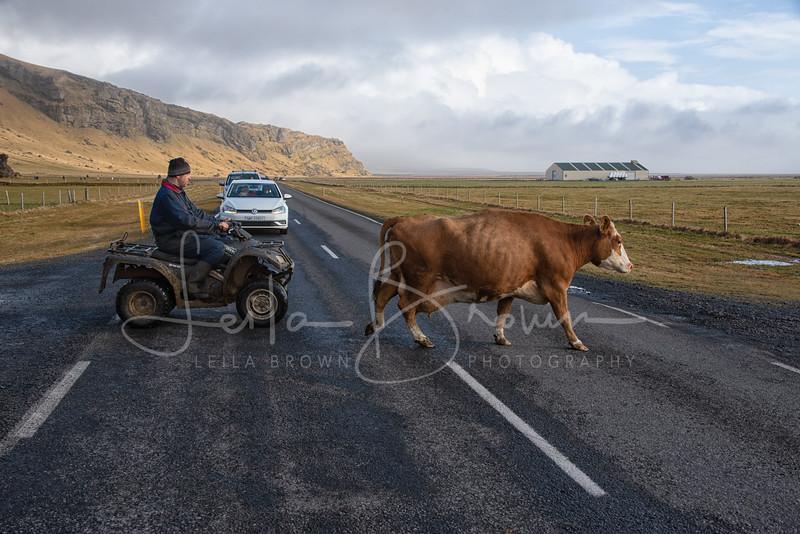 Cows-6.jpg