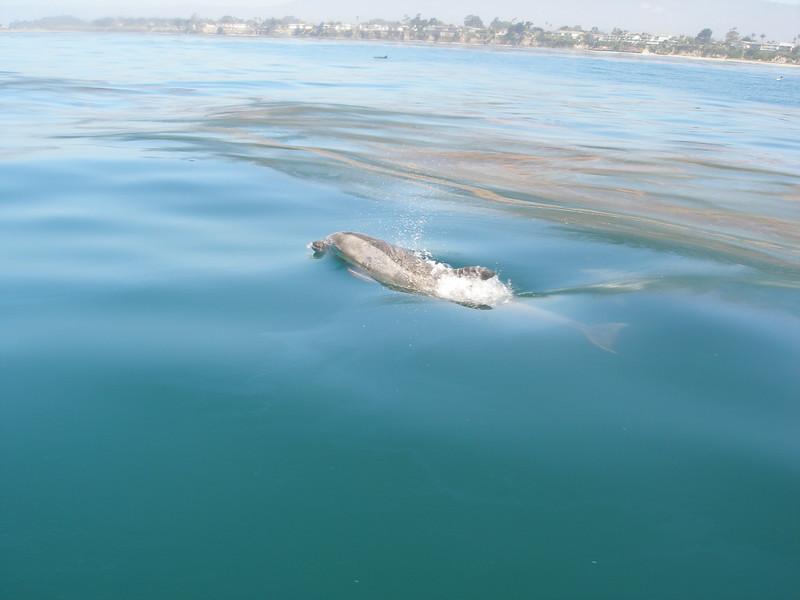 Dolphin breathe, costal Santa Barbara, CA
