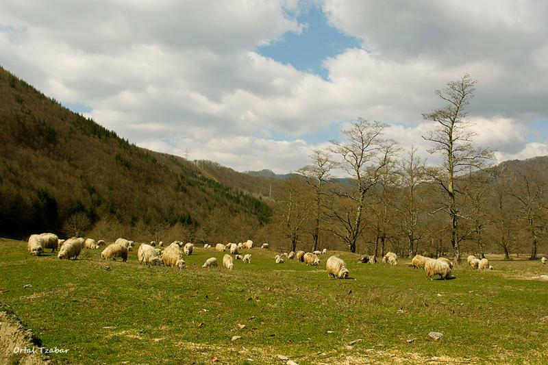 sheeps1.png