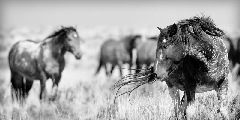 Wild Horses in Cody