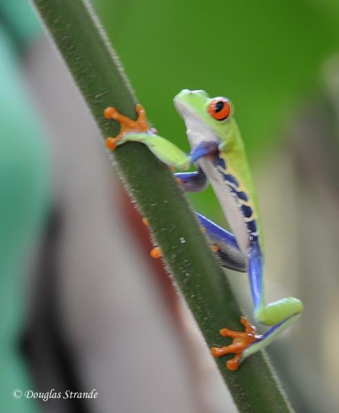 Sarapiqui: Red-eyed tree frog