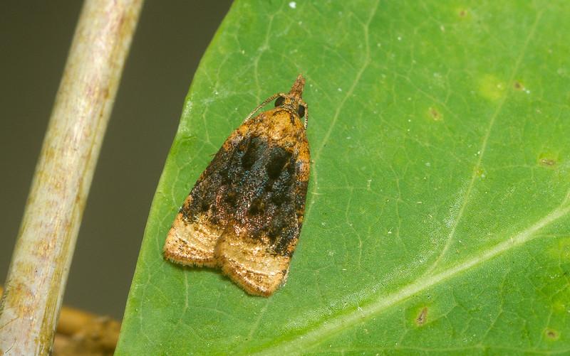 Male Platynota flavedana (Tortricidae) from Iowa.