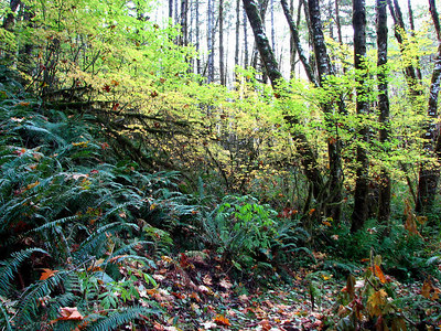 Gales Creek - Tillamook State Forest 11/06