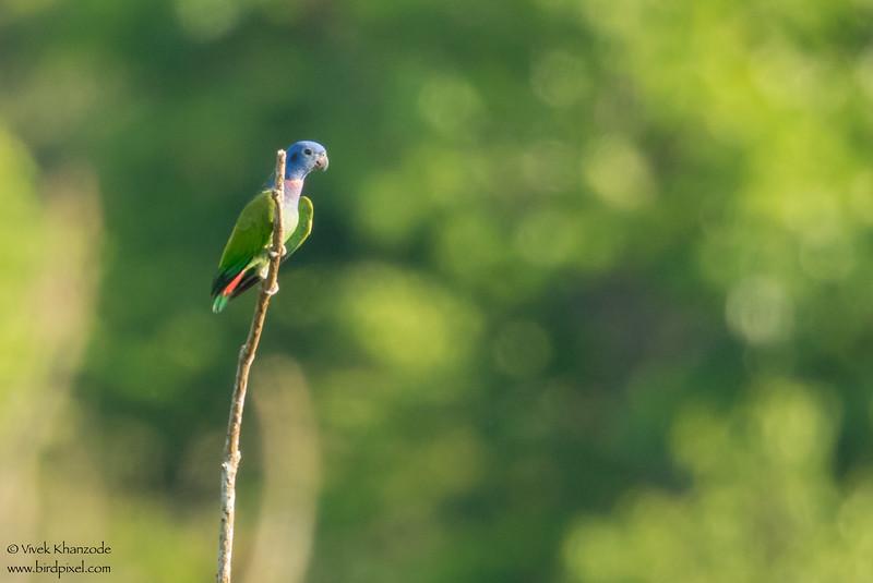 Blue-headed Parrot - Record - Amazon, Ecuador