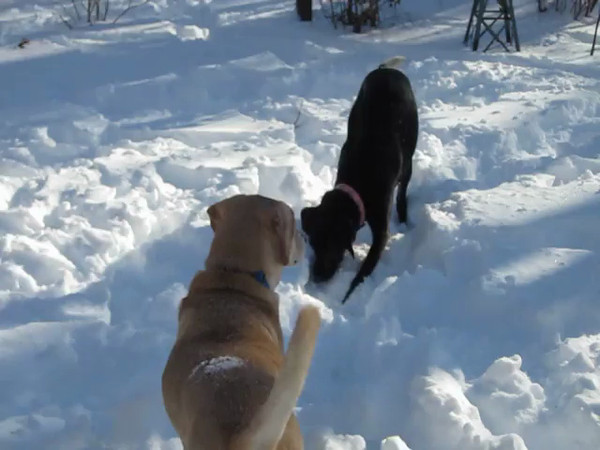 Boone and Lucy dig in the snow. Snow!