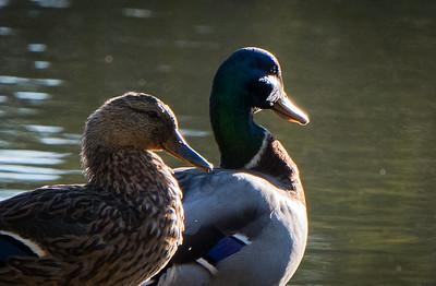 10-16-2017-ducks