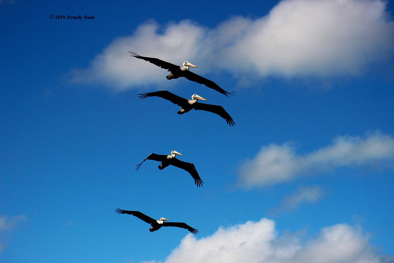 Pelican 10-17-14 1080.jpg