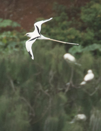 Black and White Tropic Birds