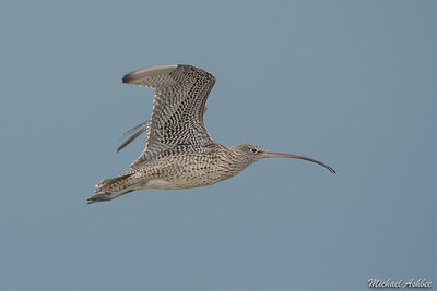 Eastern Curlew (Uncommon Arctic Migrant)