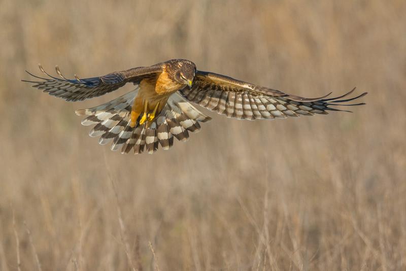 Juvenile Northern Harrier