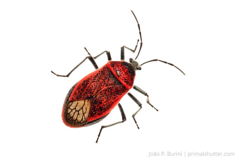 True bug (Coreidae species) Ribeirão Grande, Brazil Tropical rainforest (Atlantic forest) October 2012