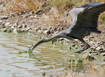 Great Blue Heron A75865.jpg