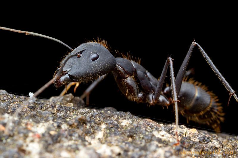Camponotus lespesi