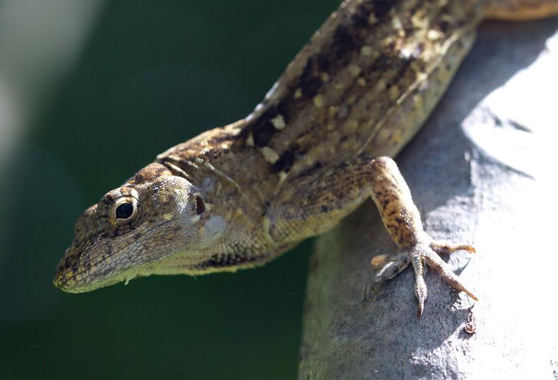lizard in the frangipani tree