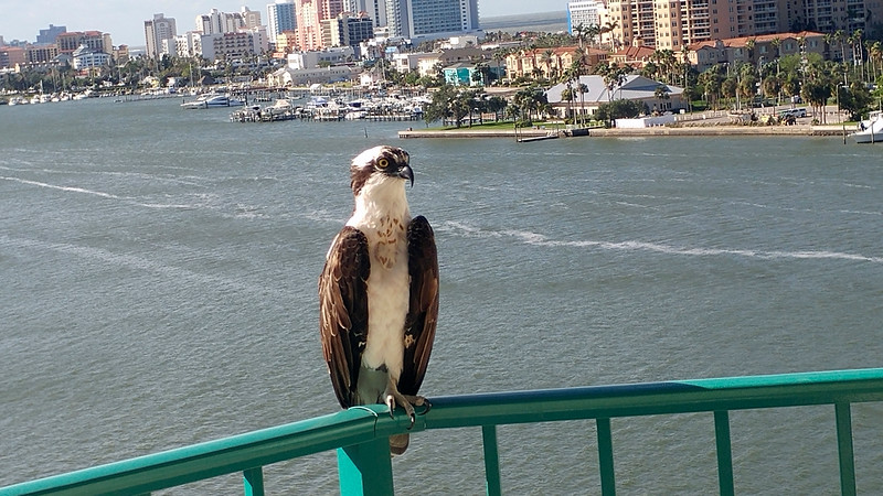 2_18_20 Osprey On Balcony.jpg