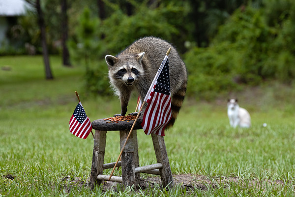 Raccoons: 2020