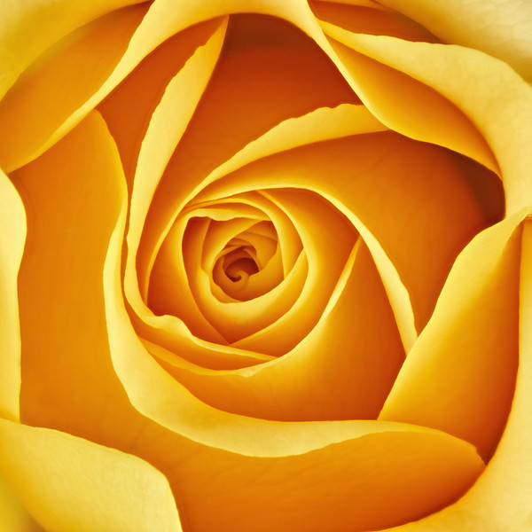 Center of a yellow rose