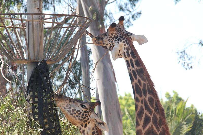 20170807-021 - San Diego Zoo - Giraffe.JPG