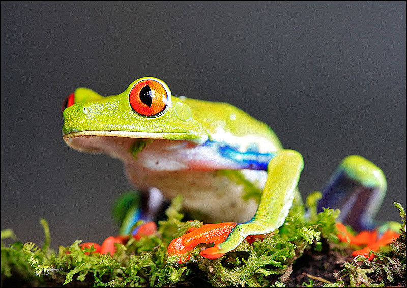 Red eye tree frog.jpg