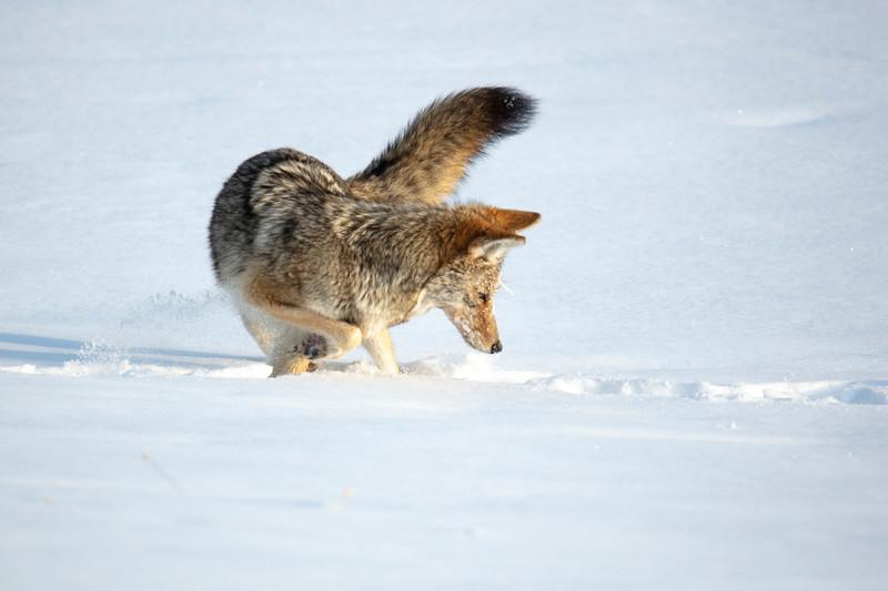 387A0098 Coyote.jpg