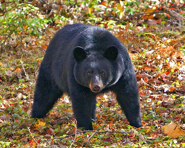 Wild Black Bear @ Hickory Run State Park, PA - 10.19.09