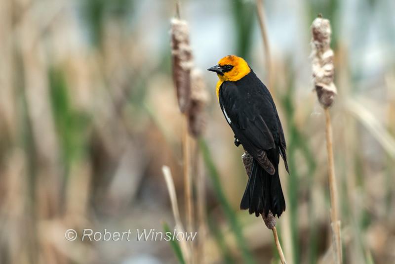 Yellow-headed Blackbird, Xanthocephalus xanthocephalus, among Cattails, Jackson, Wyoming, USA, North America