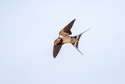 Swallows & Martins