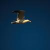 Seagull-011