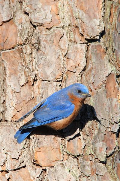 Eastern Bluebird (Sialia sialis) temporarily perched on a tree in Newport News, VA. © 2007 Kenneth R. Sheide