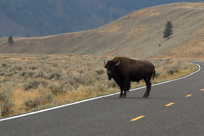 Animal Stock Photos - Bison