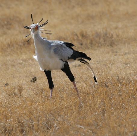 East Africa-Secretarybird