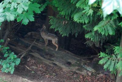 Coyote in Kirkland?