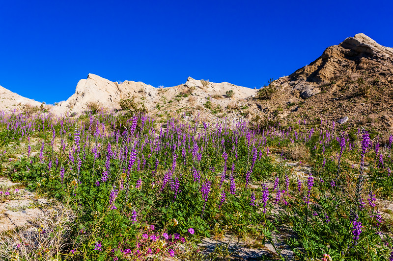 Lots of Lush Lupines