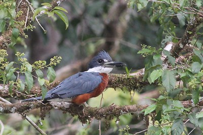 Kingfishers and Trogons