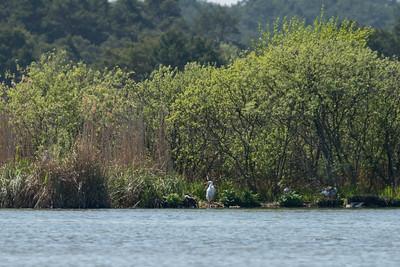 020-06 Ardea alba, Ägretthäger, Great Egret