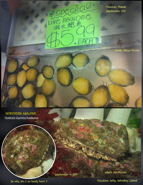 Something is not right here. Abalone here $100 per pound ....Protected and almost non existent... September 2011