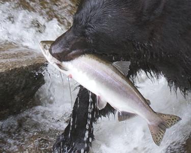 Black Bears - Anon Creek