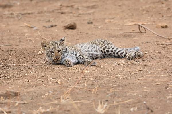 Leopard Cub Mashatu Botswana 2017