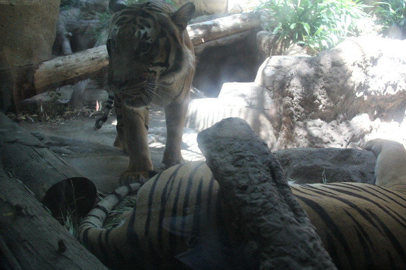 20170807-161 - San Diego Zoo - Tiger.JPG