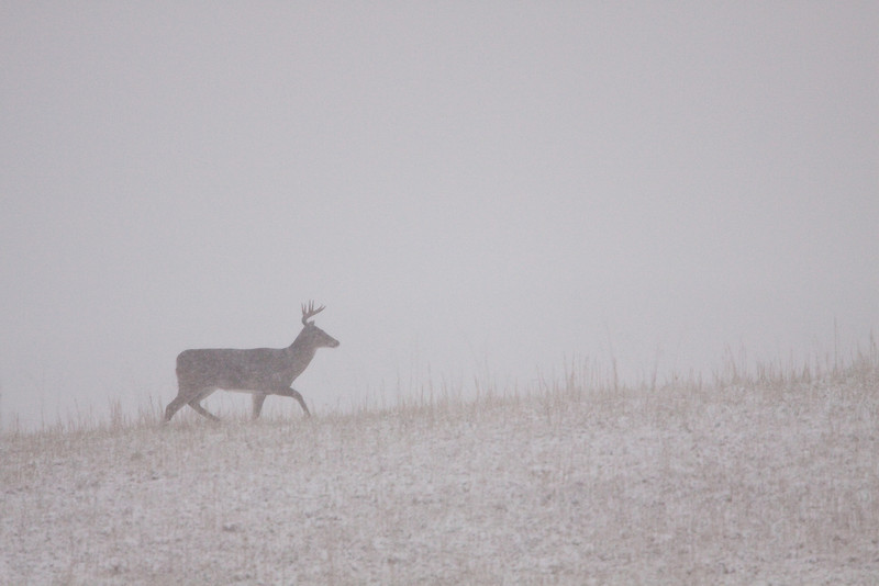 White-tailed buck on snowy ridge.