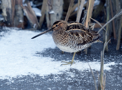 Common Snipe / Watersnip / Gallinago gallinago