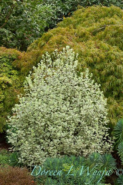 Pittosporum tenuifolium Marjorie Channon_020.jpg