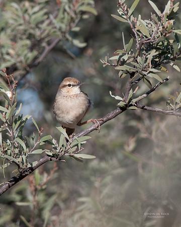Rufous Songlark (Megalurus mathewsi)