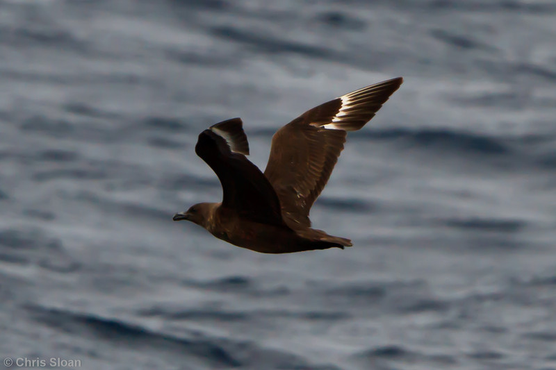 Probable Great Skua at Oregon Inlet pelagic trip, NC (08-22-2010) - 338 (08-22-2010)