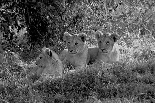 lioncubsbw.jpg