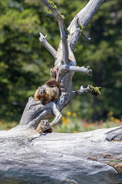 marmots.jpg