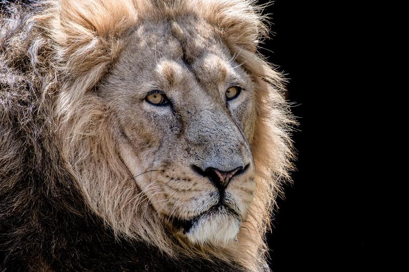 Male lion head close-up
