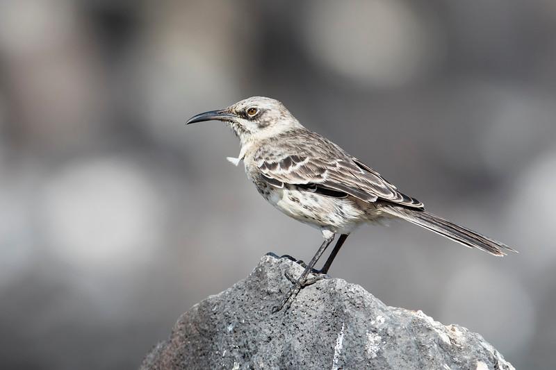 Española Mockingbird