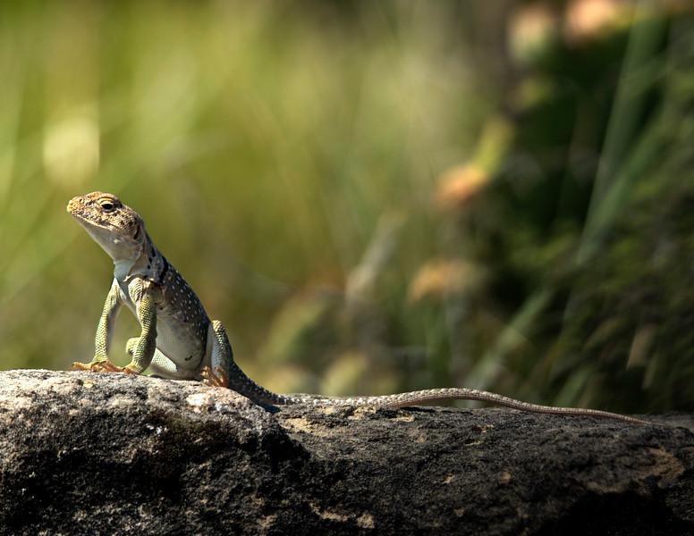 Palo duro canyon  lizard